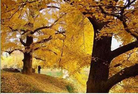山谷里银杏树叶尽染成黄色,像一片片杏黄云彩在山间飘浮,金黄一片,层